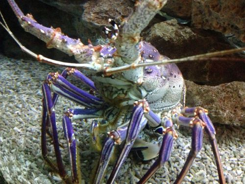 Purple_lobster