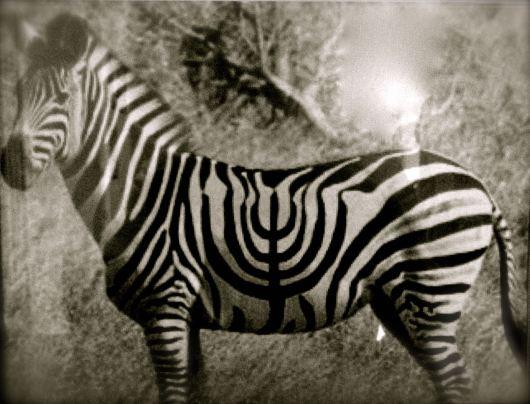 Zebra Menorah