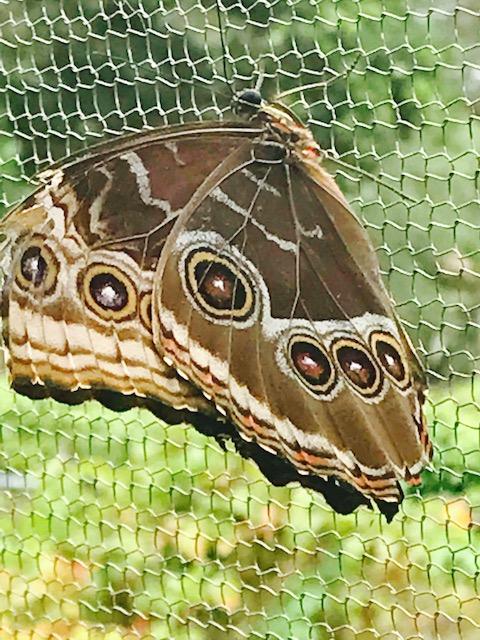 Butterfly11